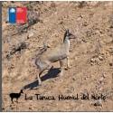 La Taruca huemul del norte